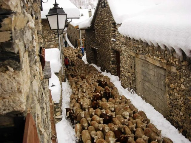 Stampede of sheep in Besse !